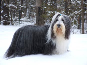 Bearded Collie Photo Puppy Collies Dog Breed Information Puppies