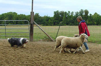 Beardie fetching sheep to handler.