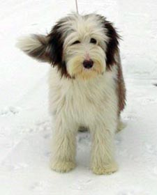 Beardie puppy standing in the snow.